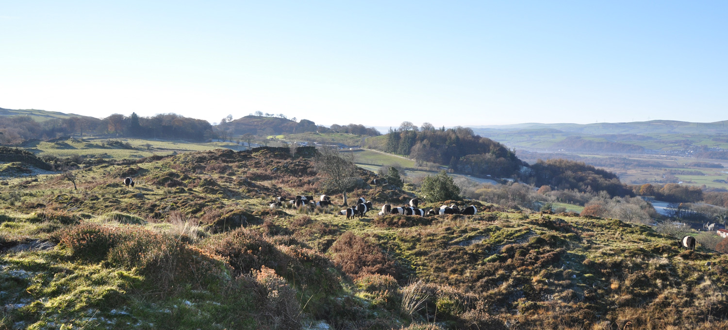 Estate view with belted galloways